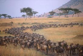 Миграция копытных в Серенгети