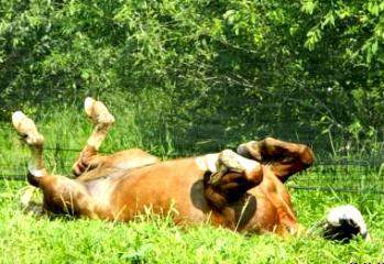 лошадь колики