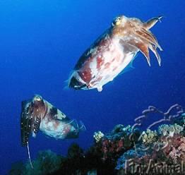 Кальмары - Sepiidae