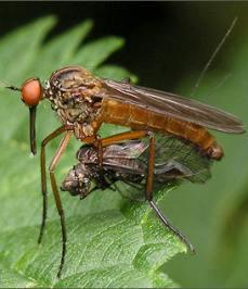 Отряд diptera двукрылые комары и мухи
