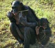 шимпанзе Бонобо Bonobo